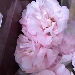 スーパーマーケット/花屋さんの花/ライフ/パシャリおでかけワンショット/おでかけワンショット 2、2019年7月28日、トナリエの花屋…(6枚目)