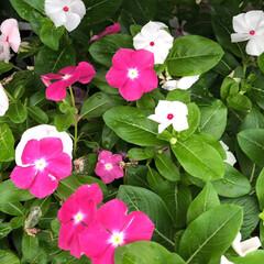 残暑見舞い申し上げます/産直市場/花屋さんの花/よってって/インテリア/プチプラ/... 2021年8月7日、美しい花を見てカメラ…(7枚目)