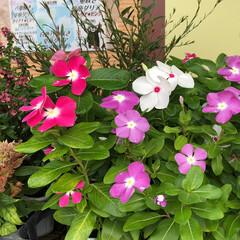 残暑見舞い申し上げます/産直市場/花屋さんの花/よってって/インテリア/プチプラ/... 2021年8月7日、美しい花を見てカメラ…(1枚目)