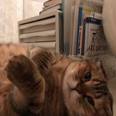 スコティッシュフォールド/猫/犬猫以外もいいぞ派/猫派/フォロー大歓迎/LIMIAペット同好会/... 樋川…私をほったらかしにして 軽井沢行っ…