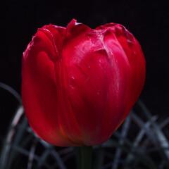 花/チューリップ/住まい/暮らし/はじめてフォト投稿 どんな世の中でもきれいに咲いています。
