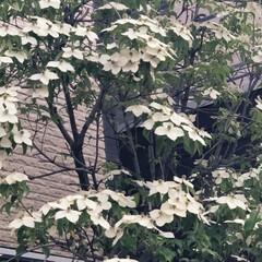 紫陽花/シンボルツリー 我が家のアジサイとシンボルツリーのヤマボ…(2枚目)