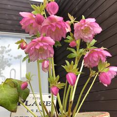 沈丁花/クリスマスローズ/ガーデニング/ナチュラル 今年も咲いて来ました🌸 大好きなピンクの…(1枚目)