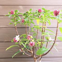 沈丁花/ガーデニング 香りが一番大好きな沈丁花💕 開き始めまし…(1枚目)