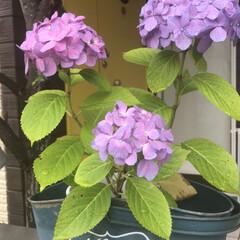 ガーデニング/あじさい/ナチュラル うちの紫陽花咲いて来ました〜 去年は二輪…(3枚目)