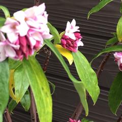 沈丁花/クリスマスローズ/ガーデニング/ナチュラル 今年も咲いて来ました🌸 大好きなピンクの…(4枚目)
