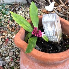沈丁花/クリスマスローズ/ガーデニング/ナチュラル 今年も咲いて来ました🌸 大好きなピンクの…(5枚目)