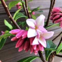 沈丁花/ガーデニング 香りが一番大好きな沈丁花💕 開き始めまし…(2枚目)