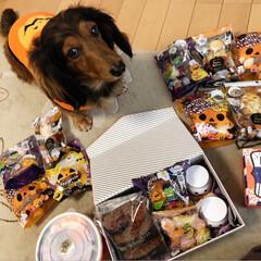手作りお菓子/ワンコ同好会/ハロウィン2019 大量のハロウィンのお菓子に大興奮のくうた…(1枚目)