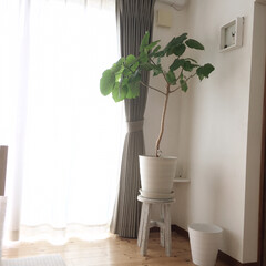 リビングインテリア/スツール/ウンベラータ/観葉植物/リビング/暮らし 葉っぱを見上げたくて、床置きにしていたウ…