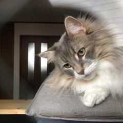 猫好きさんと繋がりたい/猫のいる暮らし/世界猫の日 傾げた首の角度が100点満点だね💯 …