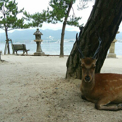 鹿/厳島神社/宮島/広島/令和の一枚/フォロー大歓迎/... 地元広島のオススメスポットと言えば、世界…