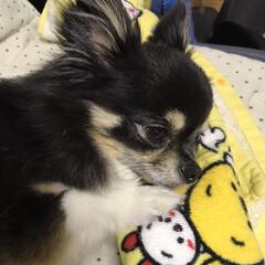 チワワ大好き 眠そうなきなこです🤫