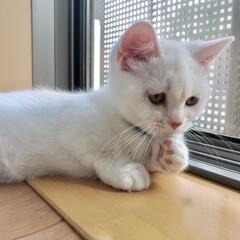 Instagramも見てね/飼い猫/クリームホワイト/マンチカン女の子/はじめてフォト投稿 考える猫。