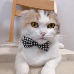 スコティッシュフォールド/インスタ猫/LIMIAペット同好会 似合ってるにゃ?