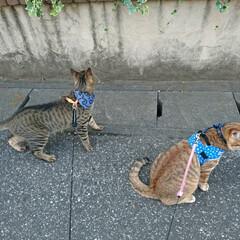ペティオ 犬 ハーネス エアーハーネス スター XS ブルー 胴輪 繊維 ミニ犬用 Petio(ハーネスリード)を使ったクチコミ「猫の散歩🎵   」