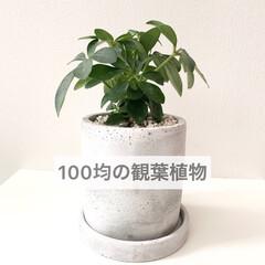 植木鉢/カポック/グリーン/緑のある暮らし/観葉植物/暮らし/... 100均ダイソーのレジ近くで小さな観葉植…
