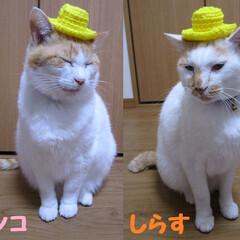 マツコ&しらす/にゃんこ同好会 YouTubeを見てミニチュアカンカン帽…