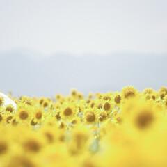 ひまわり/地元のオススメ 地元のひまわり畑〜 今が見どころでお出か…(1枚目)