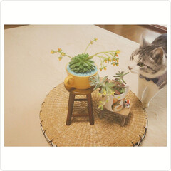 猫のいる暮らし/多肉植物の花/多肉植物/ダイソー/セリア/はじめてフォト投稿