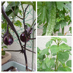 夏野菜/プランター栽培 こんにちは(*^^*)  庭のプランター…