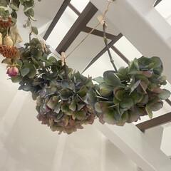 ドライフラワー作り/ドライフラワーのある暮らし/ドライフラワー/アンティークアジサイ/紫陽花 今年鉢植えのアンティーク紫陽花購入し、花…