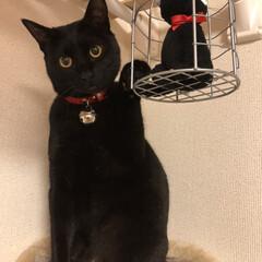 黒猫/ペット/うちの子自慢/猫/LIMIAペット同好会/にゃんこ同好会/... ジジちゃんにゃ‼️ . 今日からジジちゃ…