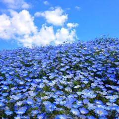ネモフィラ/青空/水色/おでかけワンショット ネモフィラと青空のスカイブルー