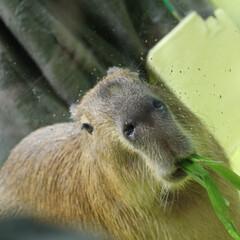 食事中/カピバラ 「ん?なに?」 私の好きな動物。