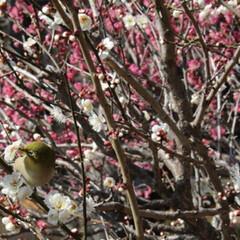 風景/はじめてフォト投稿 梅と鳥。みんなで写真撮ってるのに全然にげ…