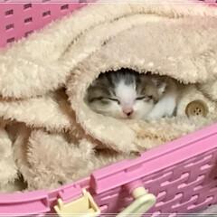 子猫/にゃんこ同好会/うちの子ベストショット/お昼寝/天使 もふもふサンド