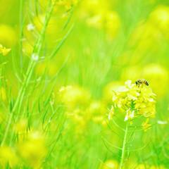 菜の花/菜の花畑/蜂/黄色/花/秋田/... 菜の花畑でこんにちは
