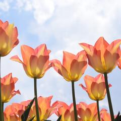 はじめてフォト投稿/信州花フェスタ/チューリップ/花/青空/長野 青空の下でまっすぐに咲くチューリップのお…