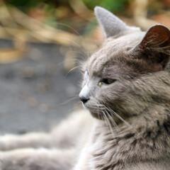 凛々しい/猫/田代島/フェンダー越しの私の世界/一眼レフ好きな人と繋がりたい/一眼レフカメラ研究中/... 可愛い猫さんもいいけど凛々しい猫さんも好…