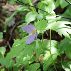 花/野草/野花/高山植物/令和元年フォト投稿キャンペーン/フォロー大歓迎 1枚目、春の高山植物の女王であるシラネア…