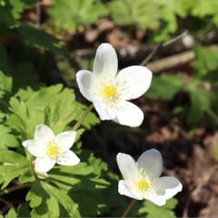 高山植物/野花/花 白→ニリンソウ ニリンソウと言われてます…