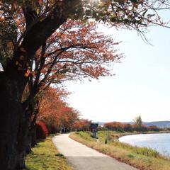 写活/お写んぽ/白鳥/スワン/桜/紅葉/... 春になると桜が咲く近所の川は秋も綺麗に色…