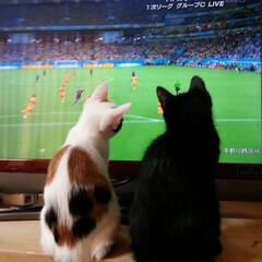 猫好き/猫好き集まれ/猫のいる暮らし/ねこ/三毛猫/黒猫/... #うちの子ベストショット  バロンとムー…
