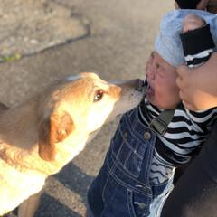 1歳ベビー/1歳児/オーバーオール/いぬ/ギャン泣き/触れ合い/... 息子の初めての犬との触れ合い。兄が押さえ…