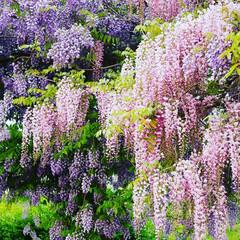 はじめてフォト投稿/フォロー大歓迎/おでかけワンショット/令和元年フォト投稿キャンペーン/わたしのお気に入り/藤の花 初投稿です!満開の藤の花が綺麗だったので…