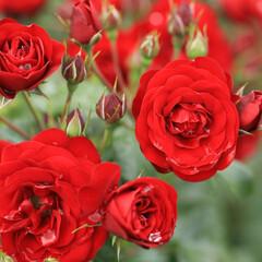 おしゃれ 燃えるような赤い薔薇🌹😯