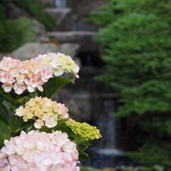 紫陽花/あじさい寺/雨季ウキフォト投稿キャンペーン 紫陽花と水の流れ。