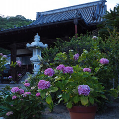 あじさい寺/雨季ウキフォト投稿キャンペーン 紫陽花を見に尾道まで。