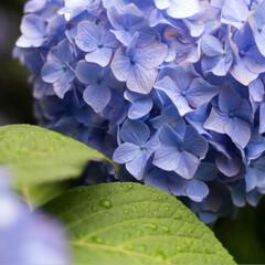 自然/梅雨明け/紫陽花/あじさい/アジサイ/雨/... 梅雨にも負けない紫陽花  このまま梅雨明…