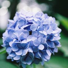 夏/紫陽花/青/summer/blue/フィルムカメラ/... 大学近くの花壇でひっそりと見頃になってい…