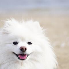 ポメラニアン/ポメ/笑顔/カワイイ/海/浜辺/... 暑い日が続いてるので今年初の海へ行って来…