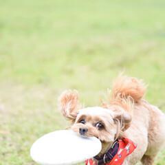 ディスクドッグ/かわいい/ミックス犬/チワプー/カメラ目線/小型犬/... 大好きなディスクを持って来てドヤ顔のカメ…