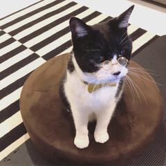 猫/ねこ/ネコ/ハチワレ/はちわれ/cat/... メガネ男子なアイザックです。