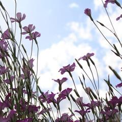 おでかけワンショット/夕暮れ/今日もお疲れ様でした 上から見る花はもちろん綺麗。 下から見る…