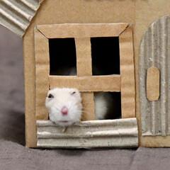 ハムスター/フォロー大歓迎/LIMIAペット同好会/ハンドメイド/うちの子自慢 市販の木製ハウスの屋根を吹っ飛ばすぷりん…